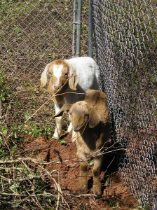 baby-goats-1-medium