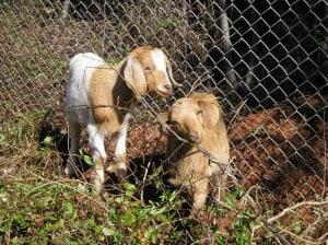 baby-goats-medium