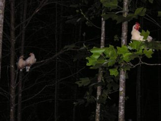 chickens in trees