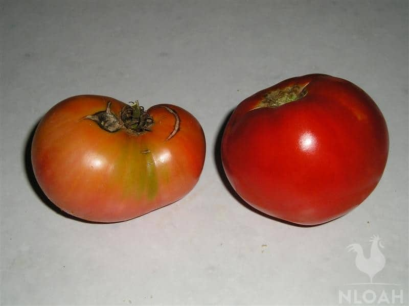 cultivated vs natural grown tomato