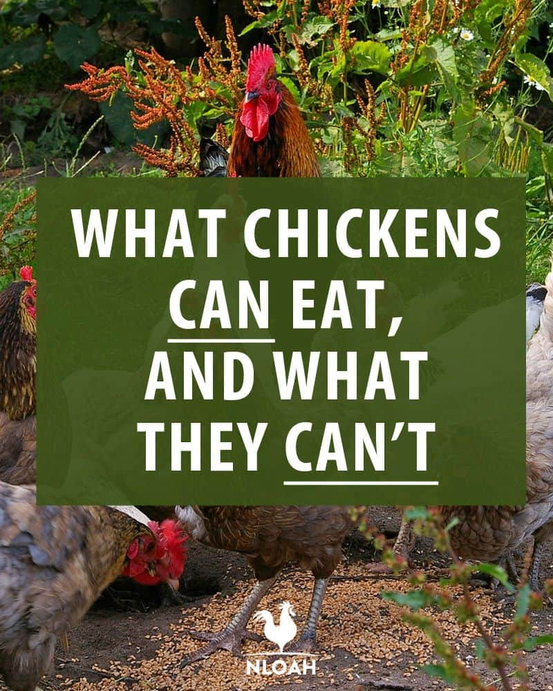 what chickens can eat pin