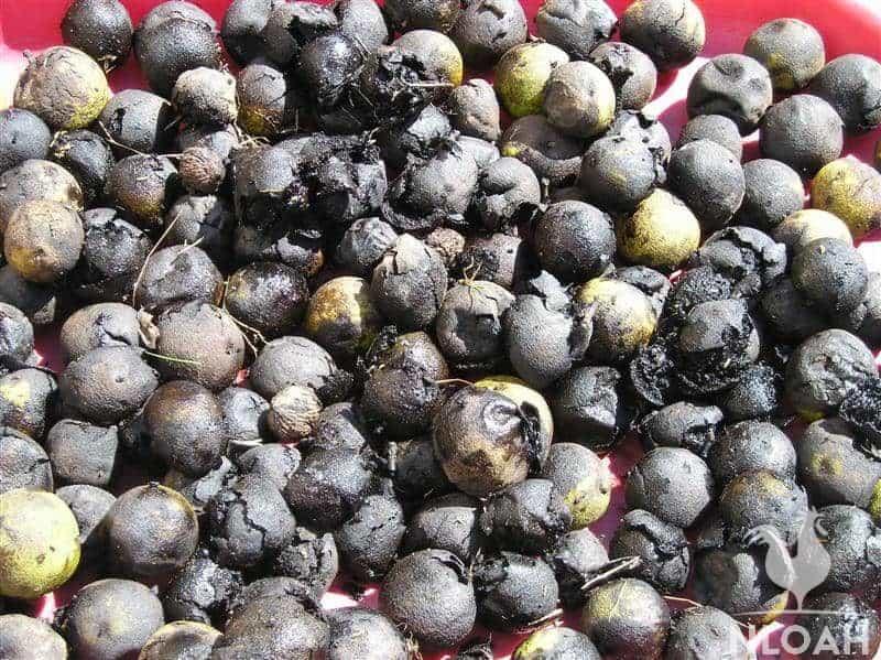 black walnuts