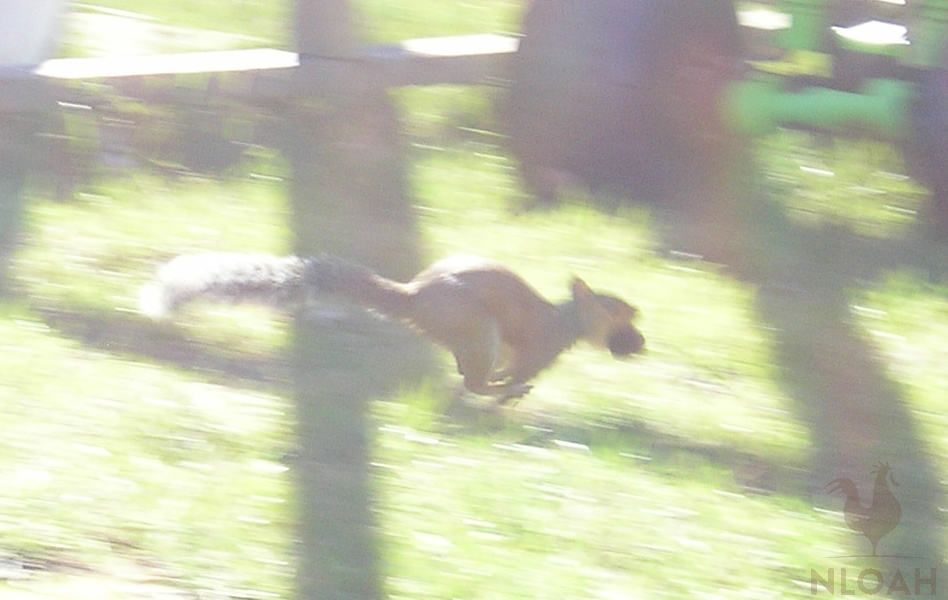 squrrel running with a walnut in its mouth