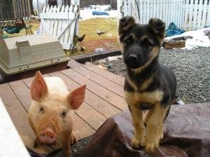 pig and dog (Medium)