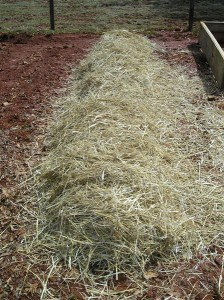 potatoes planted in straw