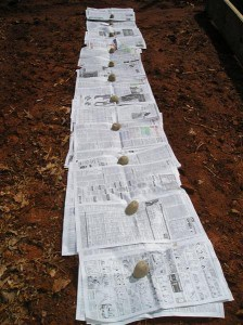 potatoes planted on newspaper