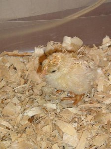 chicks hatching 006 (Medium)
