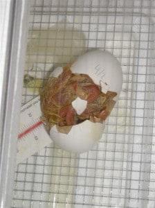 chicks hatching 011 (Medium)