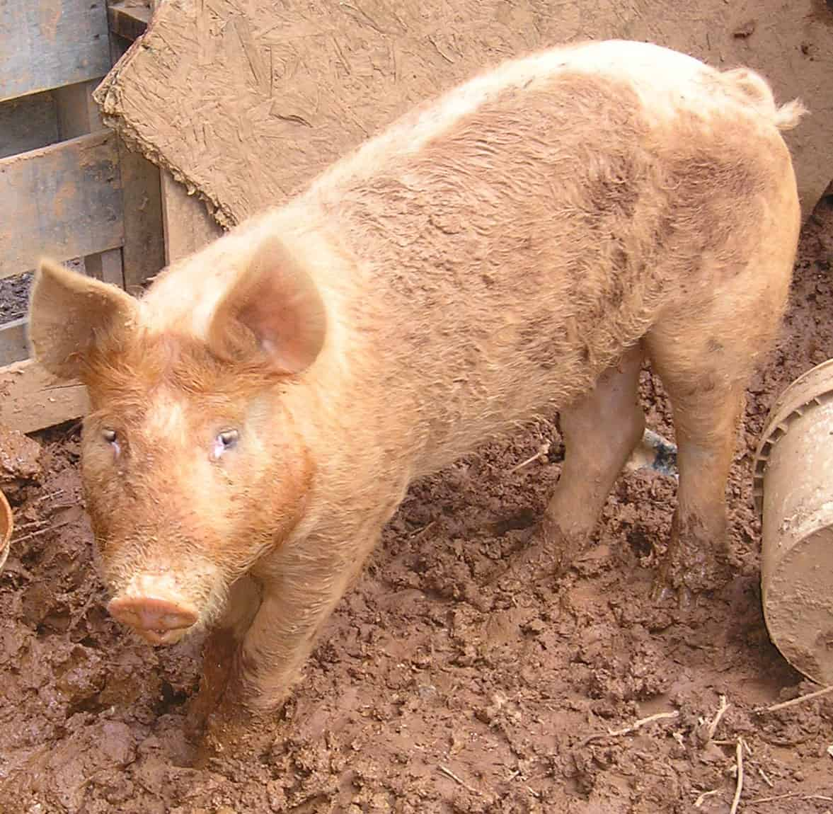 How To Raise Pigs For Meat – 3 Essential Tips For Beginners