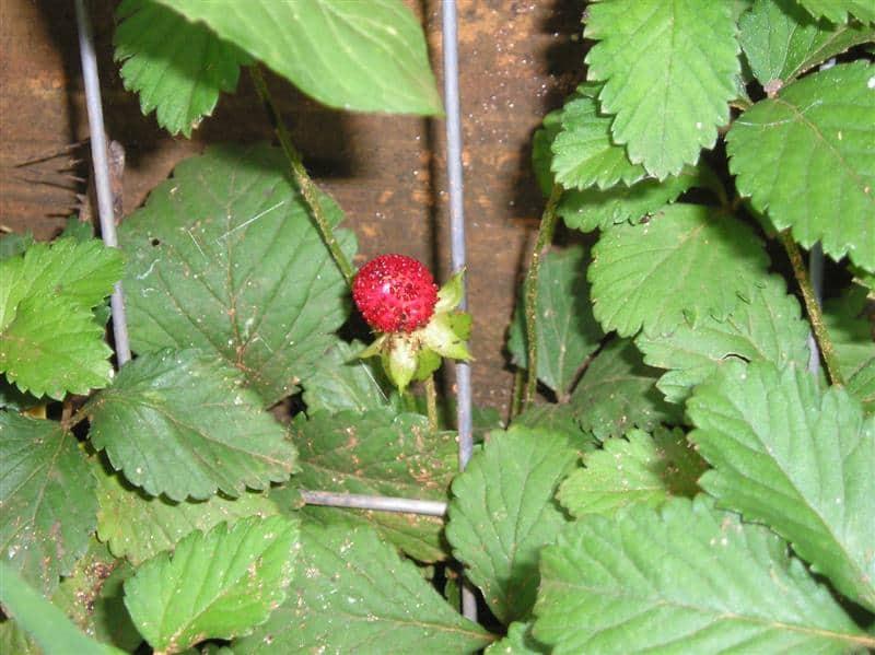 Wild Strawberry Vine Mock strawberry