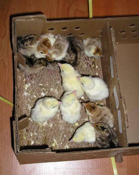 mail order turkeys