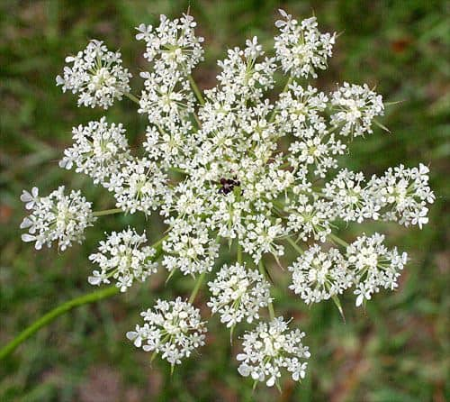 Wild Carrots, Queen Anne's Lace, And Deadly Hemlock