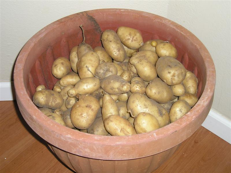home grown potatoes