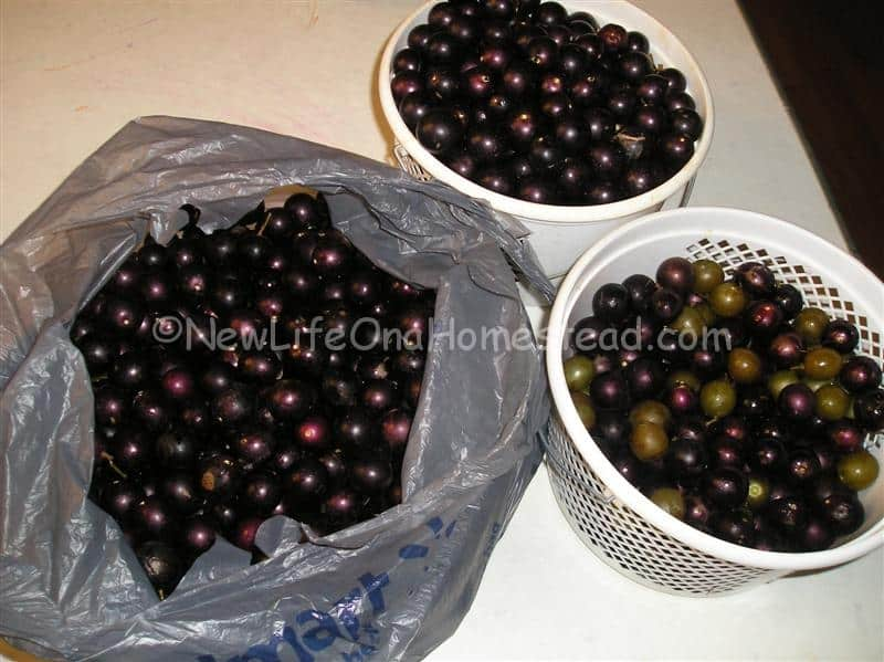muscadine jelly recipe