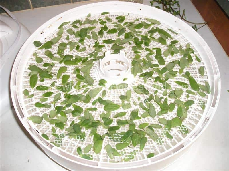 how to dry purslane