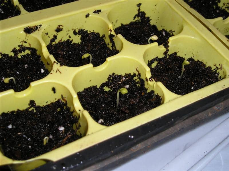 cabbage and broccoli seedlings sprouting
