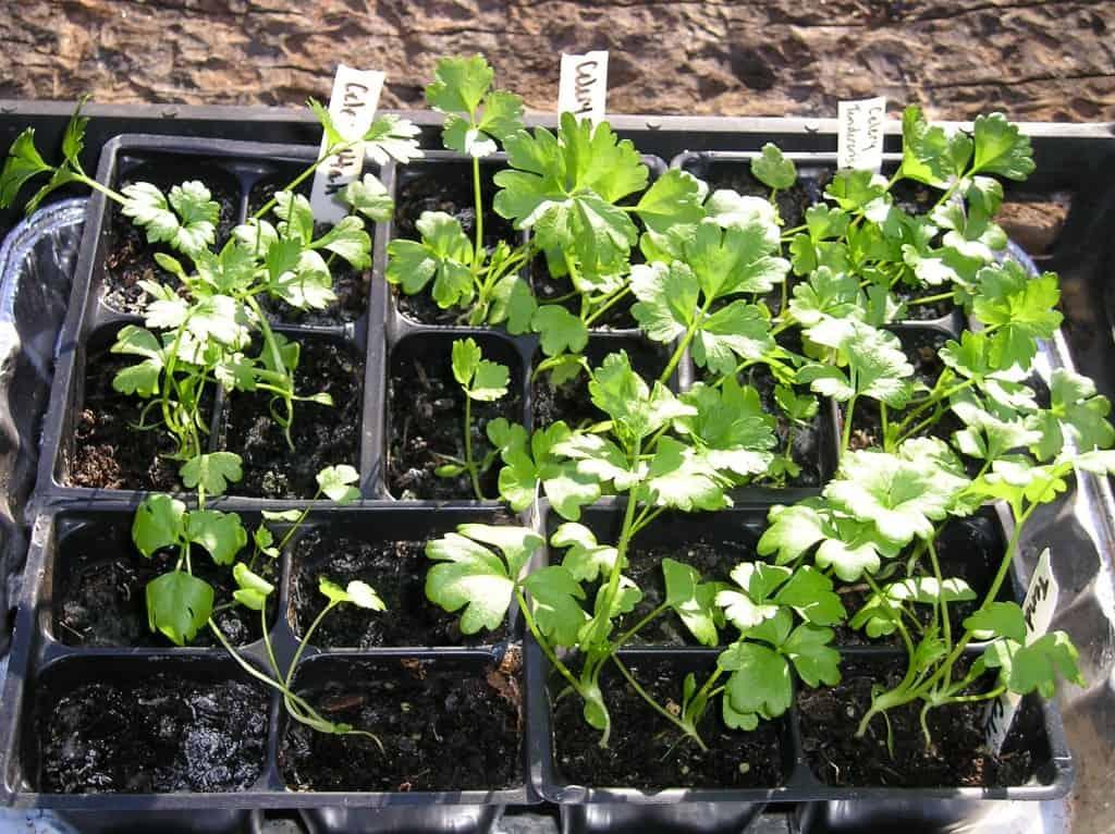 celery plants starting seeds