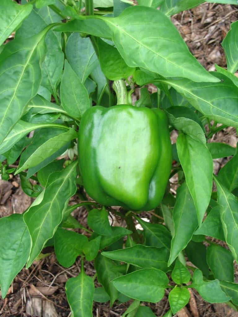 California Wonder Bell Pepper http://newlifeonahomestead.com