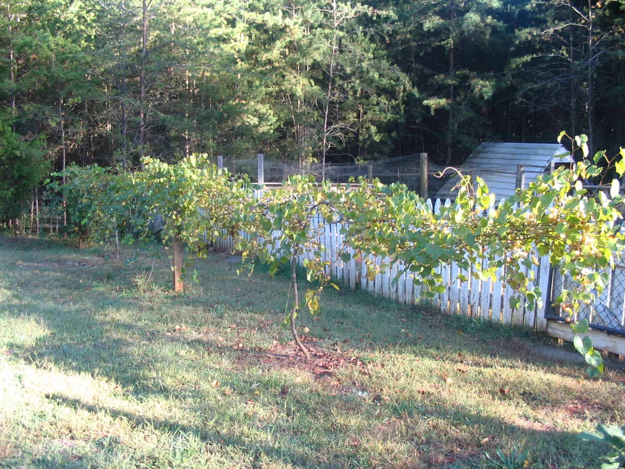 Scuppernong Muscadine Vines