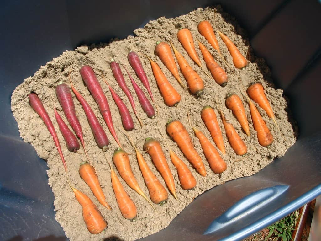 how to harvest and store carrots