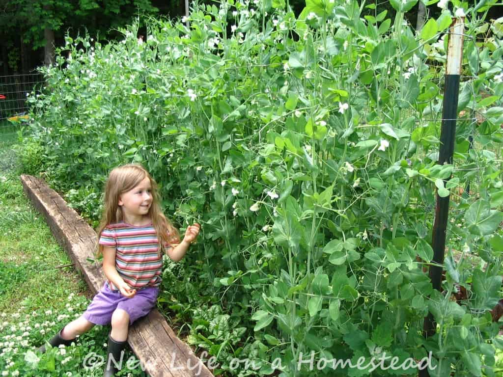 Xia and her peas 2014