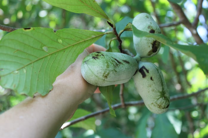 I Found A Wild Pawpaw Tree!