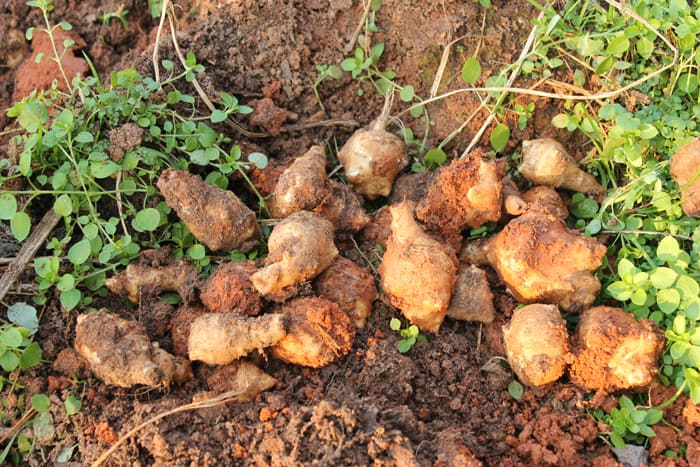 Jerusalem Artichokes: A Good Survival Crop! Follow us through a year of growing and harvesting these yummy tubers. newlifeonahomestead.com