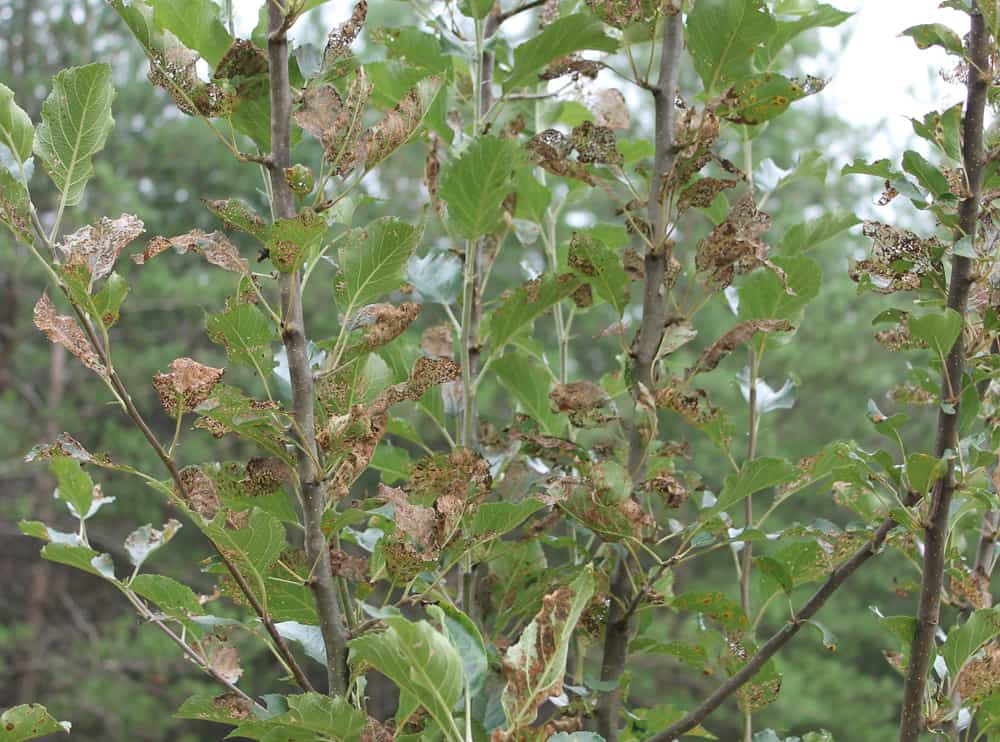 apple tree beetle damage