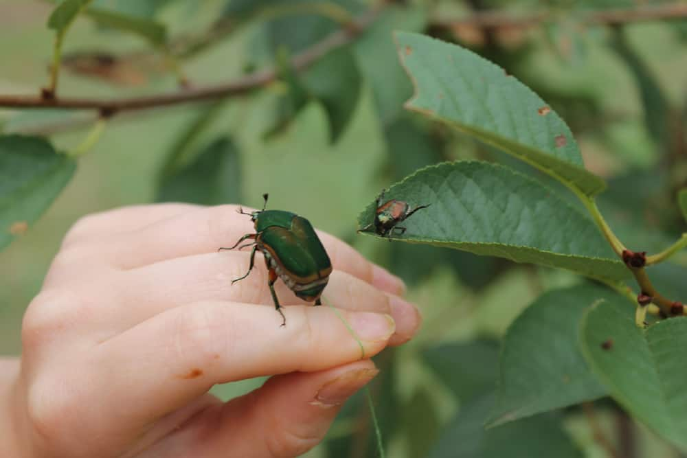 june bugs and japanese beetles