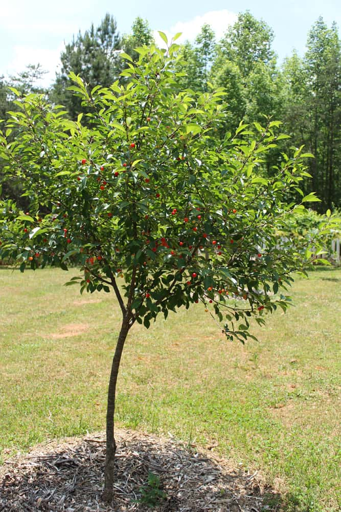The Pie Cherry Tree. Montmorency Cherries | newlifeonahomestead.com