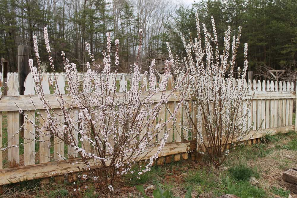 Edible Landscaping: Nanking Cherry Bushes- in bloom