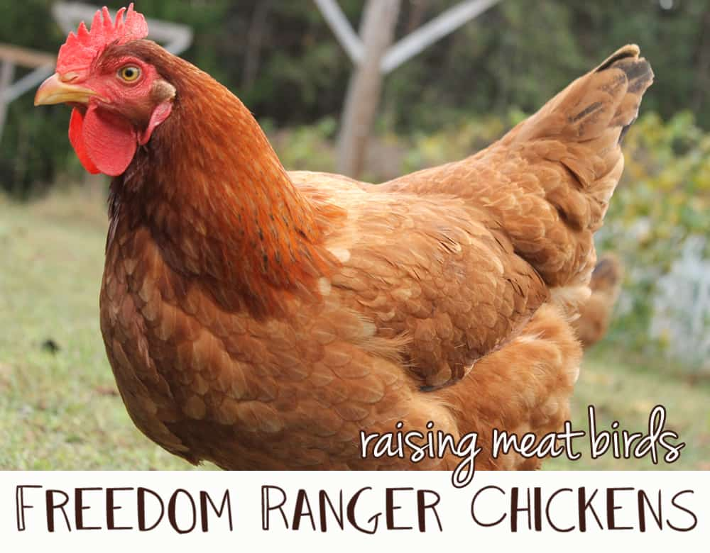 Freedom Ranger Chickens For Meat | www.newlifeonahomestead.com