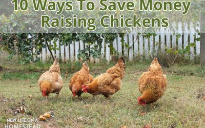 10 Ways To Save Money Raising Chickens