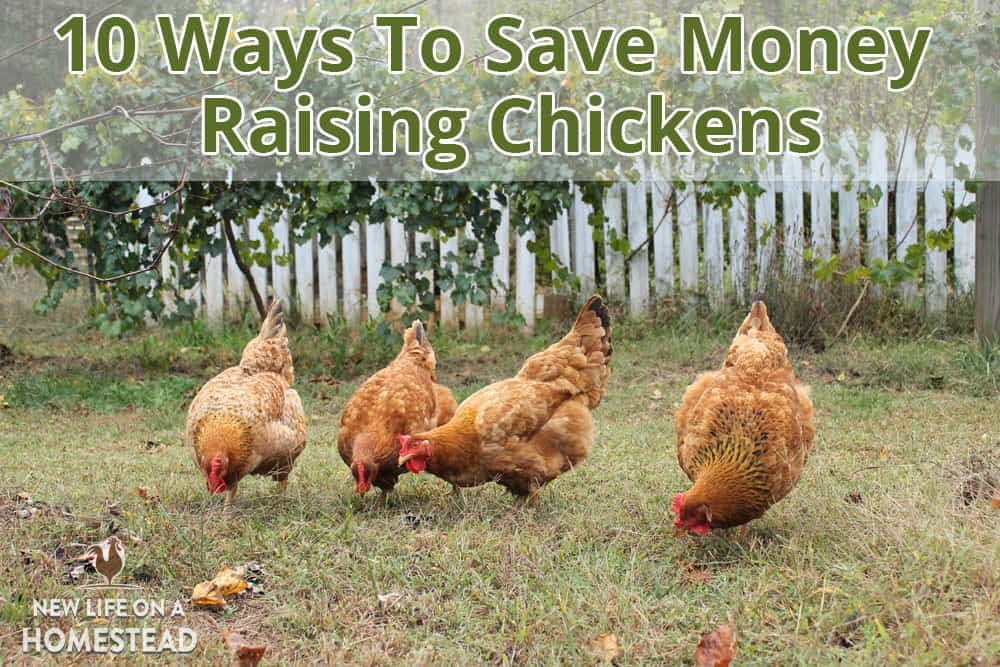 10 practical ways to save money raising chickens. Learn how to build a coop, manage a flock, feed your chickens, and increase productivity for less money.