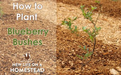 Planting Blueberry Bushes, And Our New Patch!