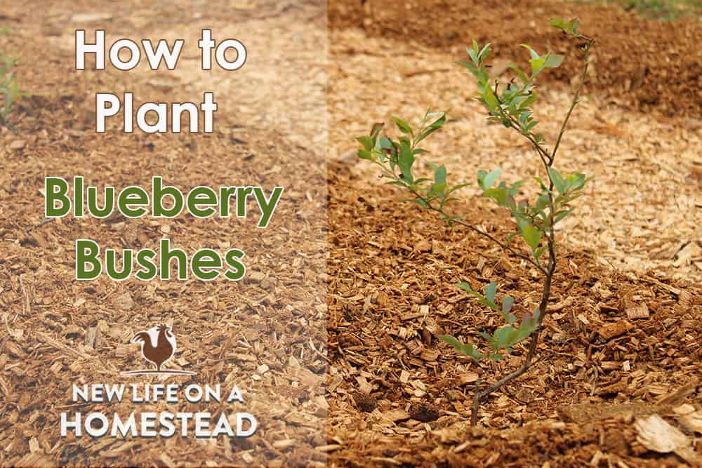 Planting blueberry bushes tutorial