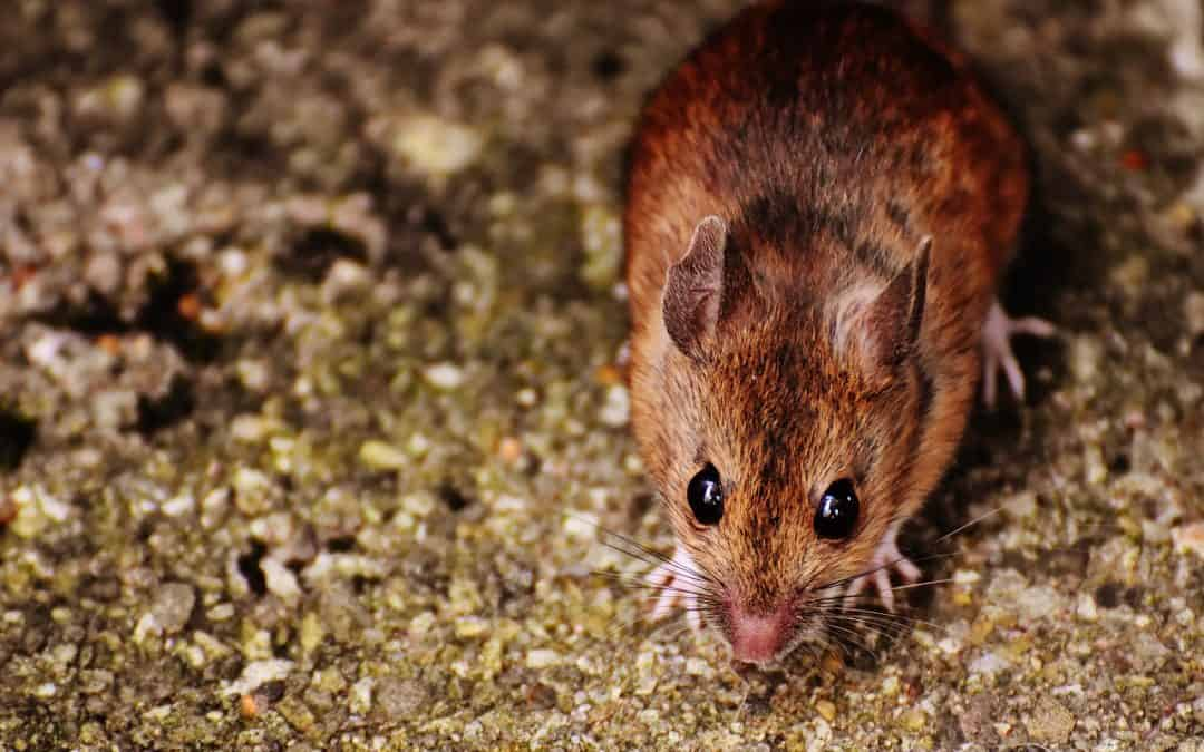 11 Tips To Keep Mice Away From Your Home