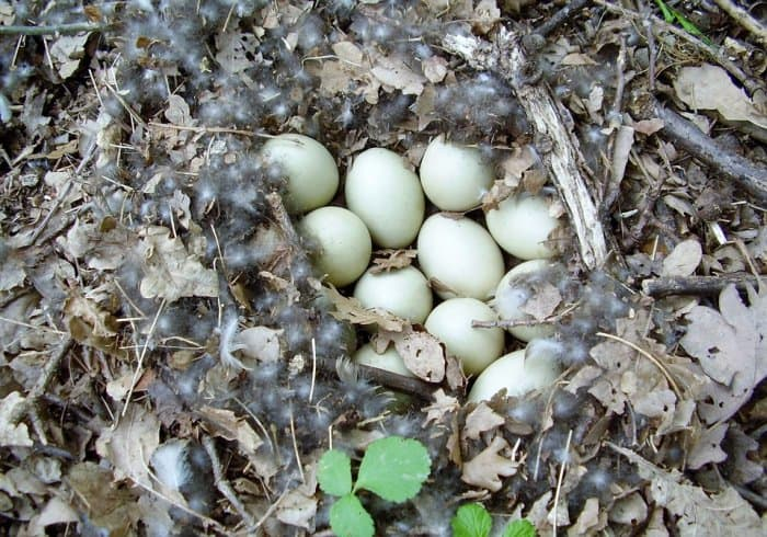 duck eggs in nest