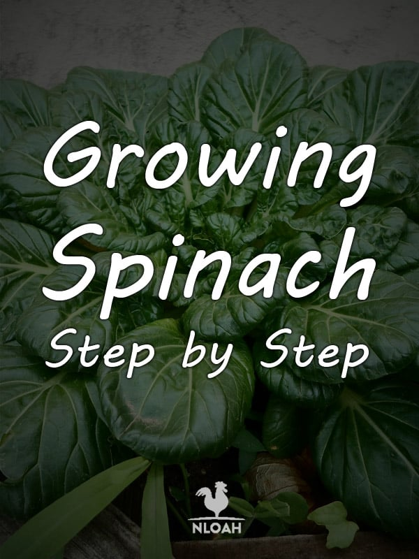 growing spinach pinterest