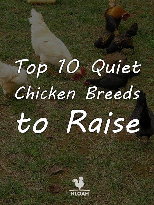 quiet chicken breeds pinterest