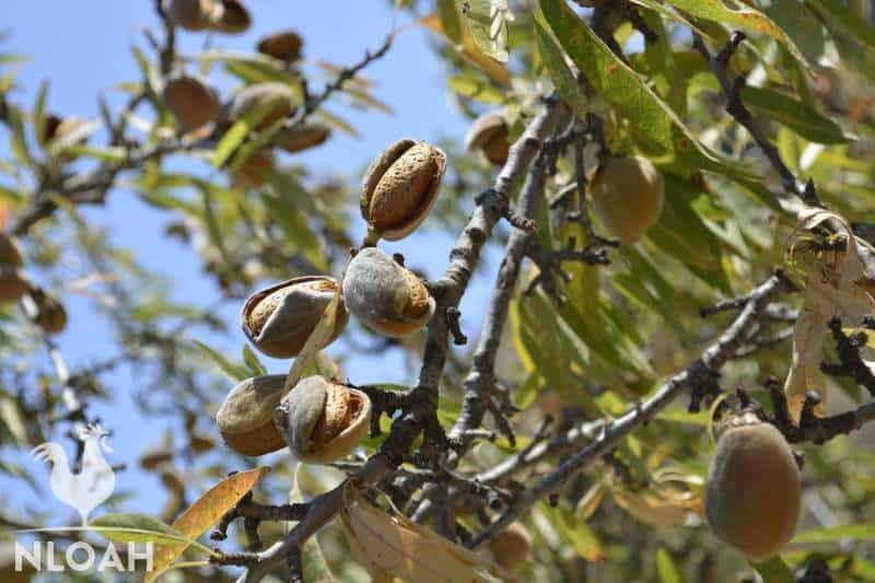 almonds on almond tree starting to dry and husks opening