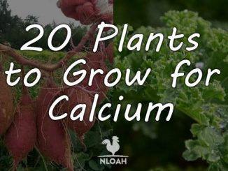 calcium plants featured