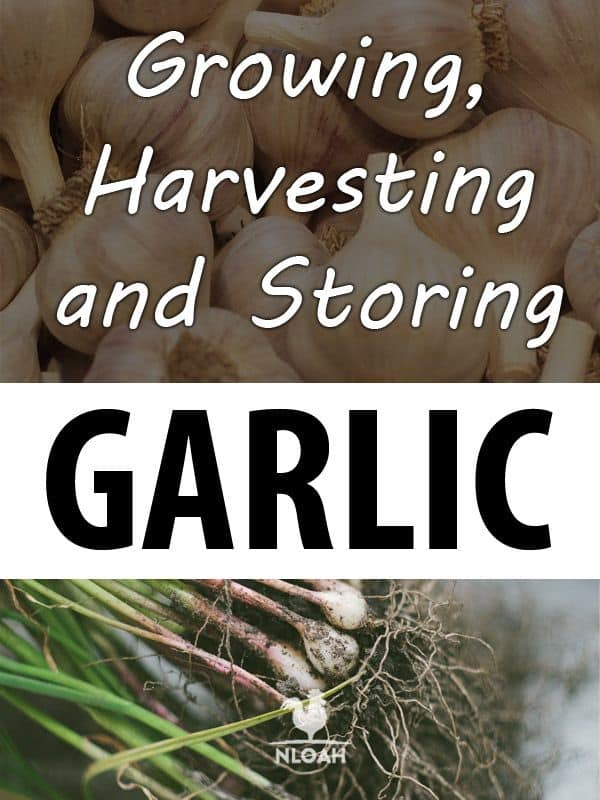 growing garlic pinterest