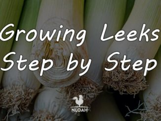 growing leeks featured