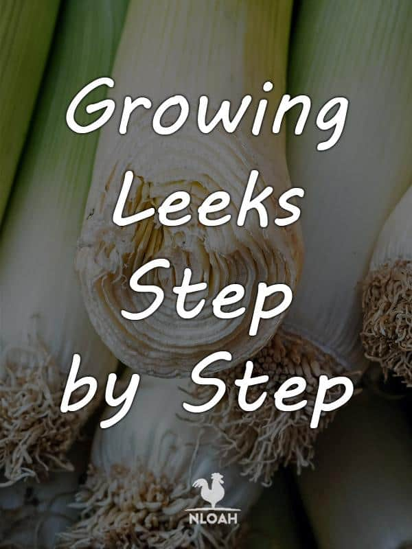 growing leeks pinterest