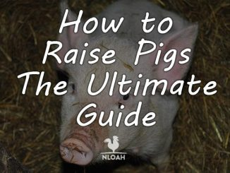 how to raise pigs featured