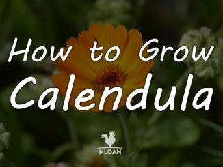 calendula featured