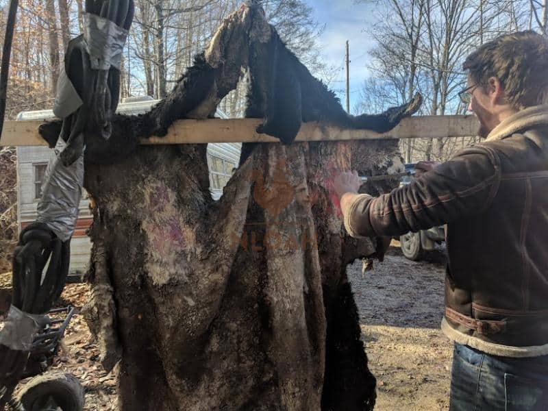 fleshing a cow hide