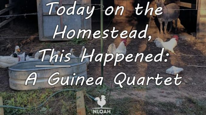 guinea quartet featured