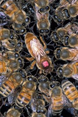 african honeybee